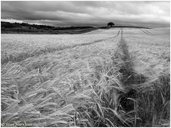 Tracks in the Barley by Stan Harrison