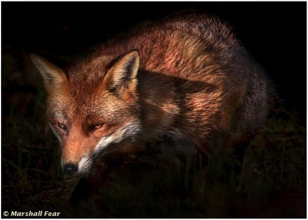 Prowling Fox In The Shadows by Marshall Fear